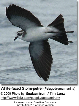 White-faced Storm-petrel (Pelagodroma marina), also known as White-faced Petrel