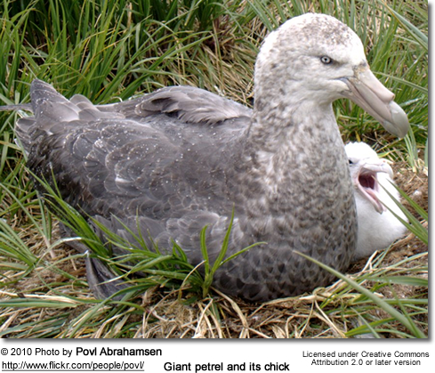 Giant petrel and its chick