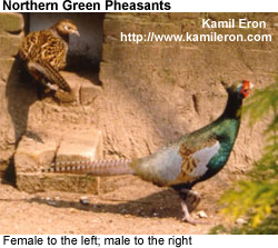 Northern Green Pheasant