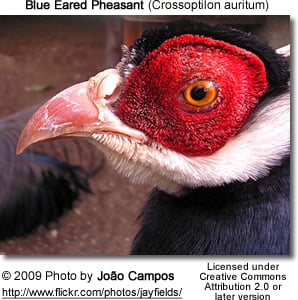 Blue-eared Pheasant Head Details