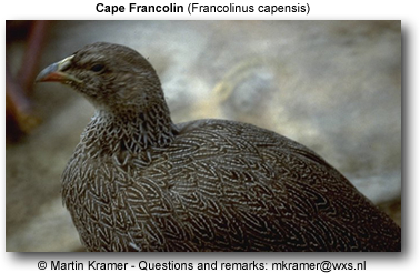 Cape Franklin Pheasant