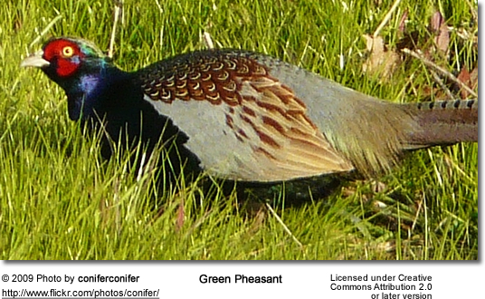Male Green Pheasant