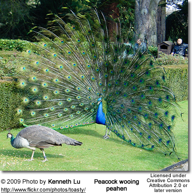 Peahen And Peacock Mating Peacock wooing peahen
