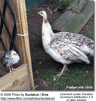 Mutation Peahen with chick