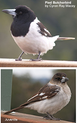 Pied Butcherbirds