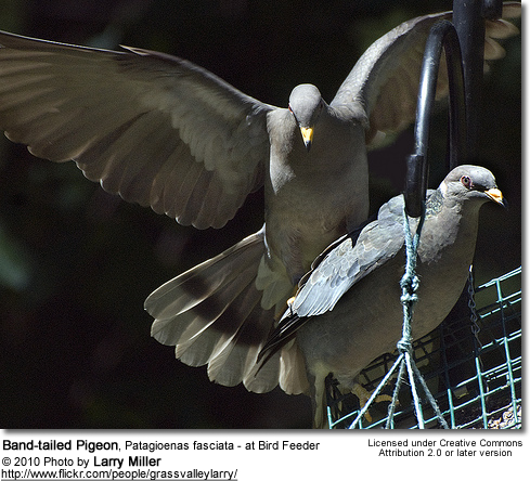 Band-tailed Pigeon, Patagioenas fasciata - at Bird Feeder