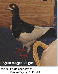 "English Magpie Pigeon ""Sugar"""