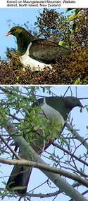 New Zealand or Kereru Pigeon