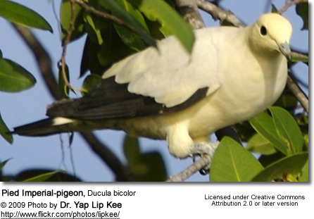Pied Imperial-pigeon, Ducula bicolor