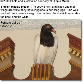 English Magpie Pigeon
