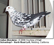 Indian Mondaine Pigeon