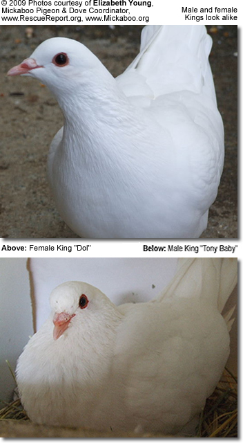Male King Pigeon