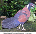 White-naped Pheasant Pigeon