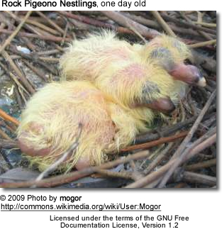 Rock Pigeon Nestlings - 1 day old