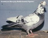 Sverdlovsk Blue-gray Mottle-headed Pigeons