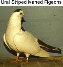 Ural Striped Maned Pigeons