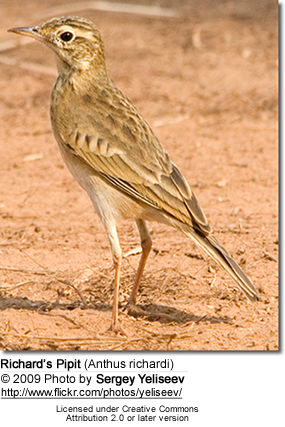 Richard's Pipit (Anthus richardi)