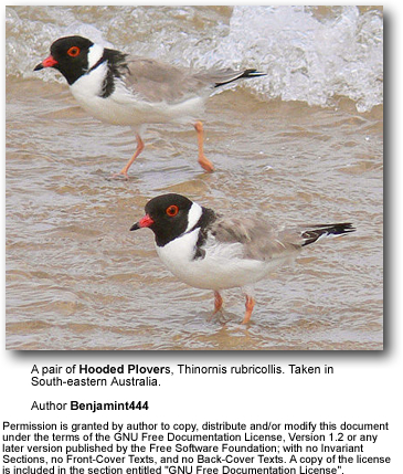 Hooded Plovers