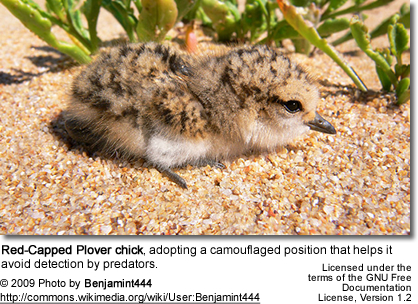 Red-capped Plover chick