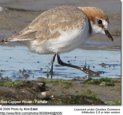 Red-capped Plover female
