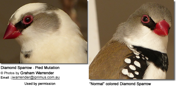 profile shot of a pied and normal diamond sparrow