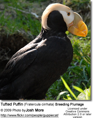 Tufted Puffin (Fratercula cirrhata) Breeding Plumage