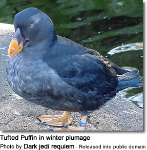 Tufted Puffin in winter plumage