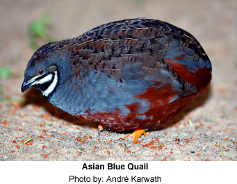 Asian Blue Quail