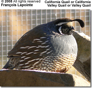 California or Valley Quail
