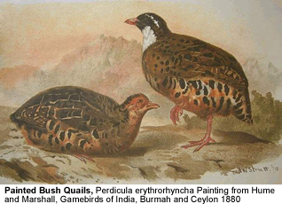 Painted Bush Quails