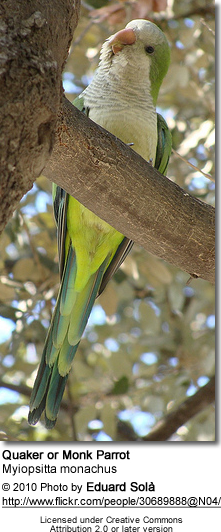Monk Parakeet, also known as the Quaker Parrot, (Myiopsitta monachus)