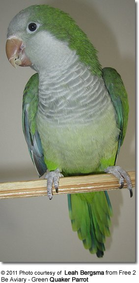 quaker monk parrot aka grey breasted parakeet beauty of birds