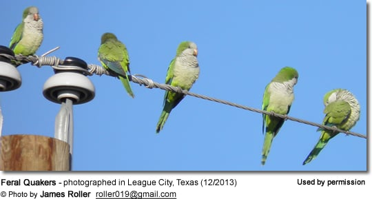 Feral Quakers - photographed in League City, Texas (12/2013)