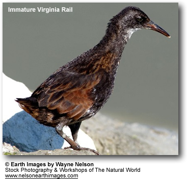 Virginia Rail - Immature