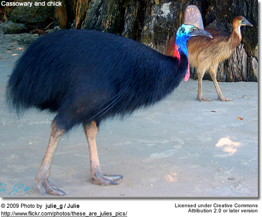 Cassowary and chick