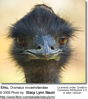 Emu Head Detail