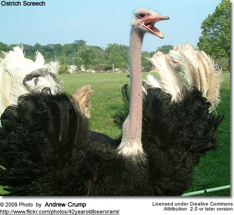 Male Ostrich voicing