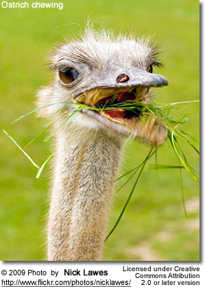 Ostrich chewing