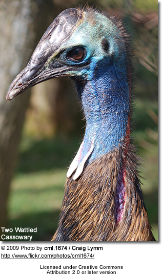 Two Wattled Cassowary