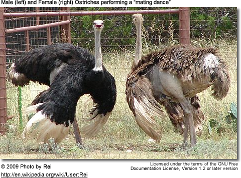 "Malel and  Female Ostriches performing a ""mating dance"""