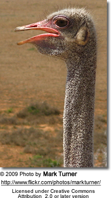 Profile of an Ostrich