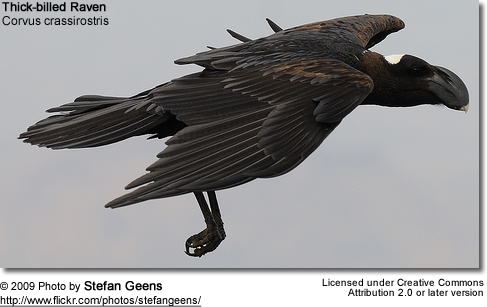 Thick-billed Raven in flight