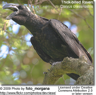 Thick-billed Raven calling