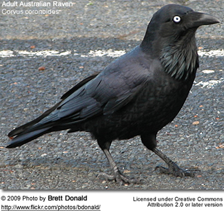 Australian Raven - Adult - note the light blue irises