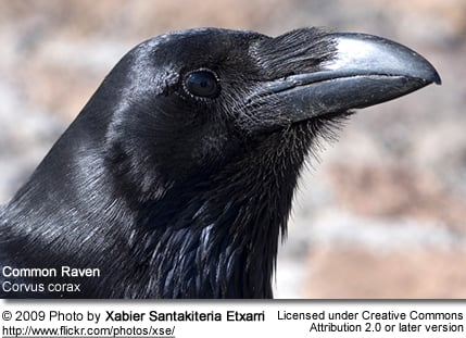 Common Raven profile