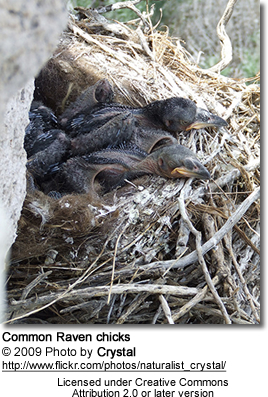 Common Raven chicks