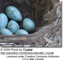 Common Raven eggs