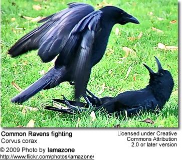 Common Ravens fighting
