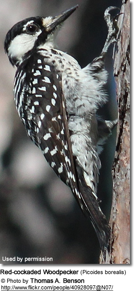 Red-coacked Woodpecker