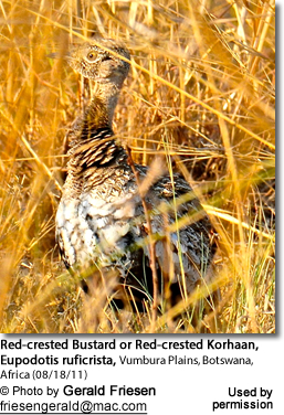 Red-crested Korhaan or Red-crested Bustard (Lophotis ruficrista)